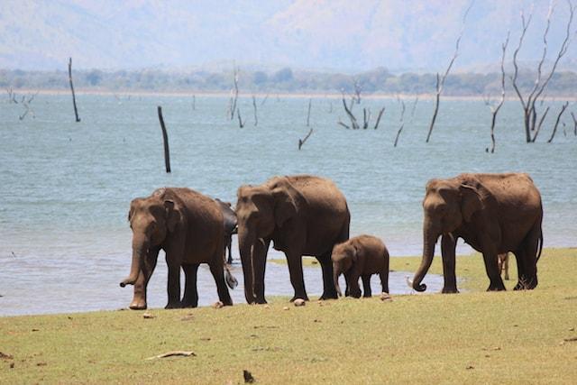 Elephants at Udawalawe National Park