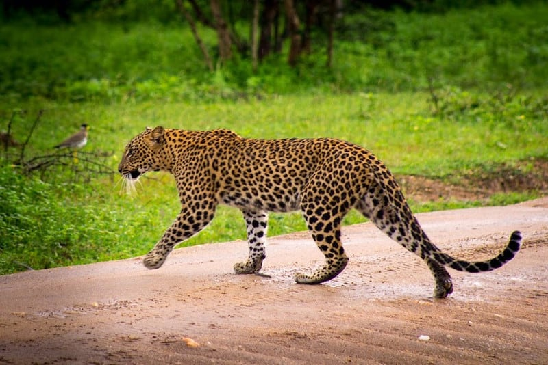 SSpot Leopard in Yala National Park